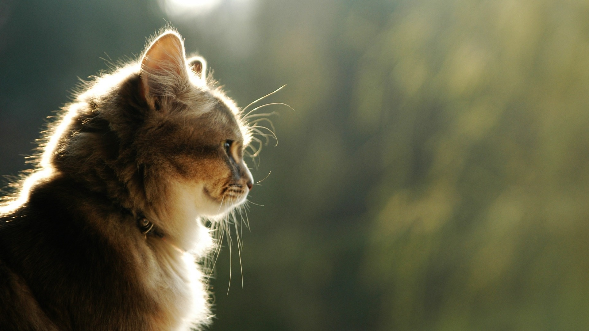 50 Free HD Cat Wallpapers