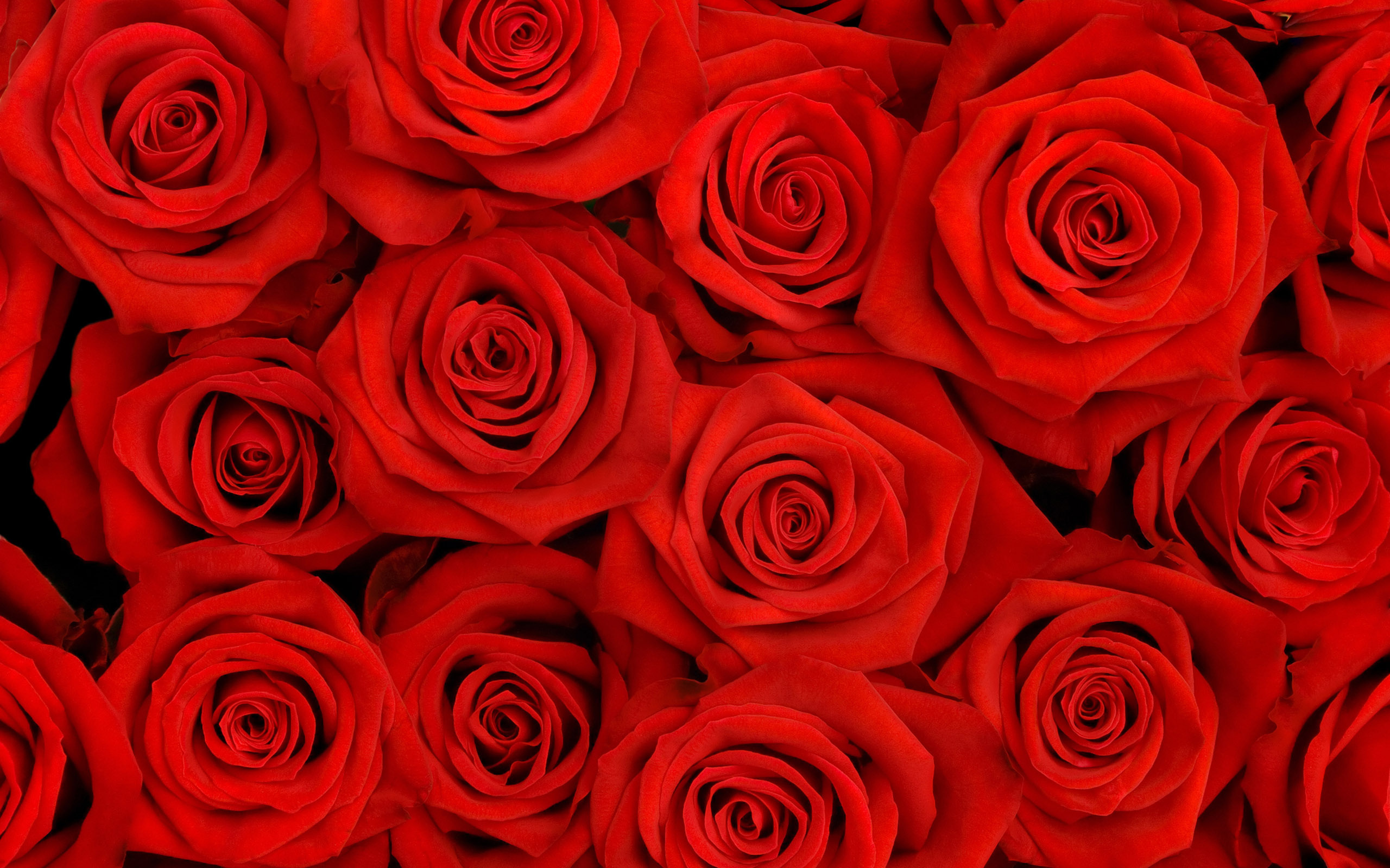 Red Roses Wallpaper Backgrounds - WallpaperSafari