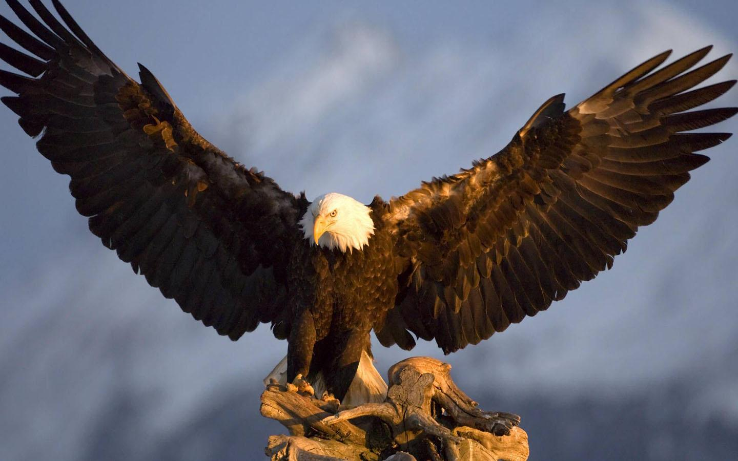 Bald Eagle Wallpaper - Android Apps on Google Play
