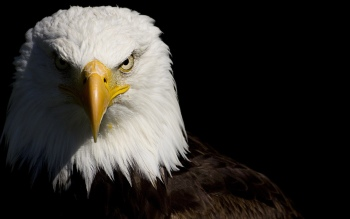 44 Bald Eagle Wallpapers Pictures
