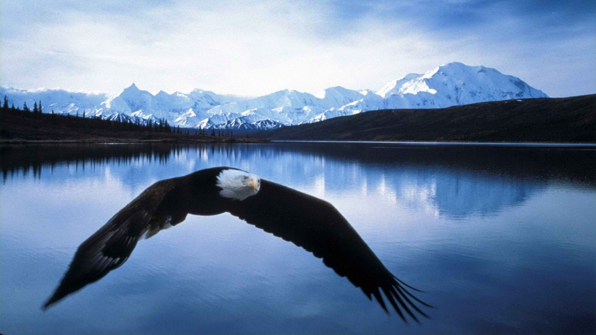 Bald Eagle Wallpaper HD Images – One HD Wallpaper Pictures