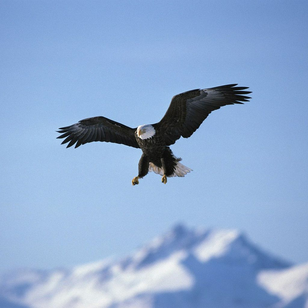 Free Bald Eagle Wallpapers - Wallpaper Cave