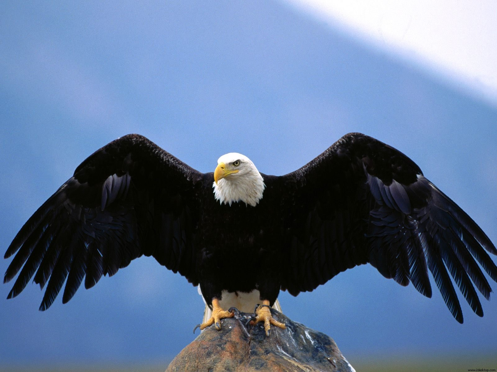 Bald Eagle Wallpapers - First HD Wallpapers