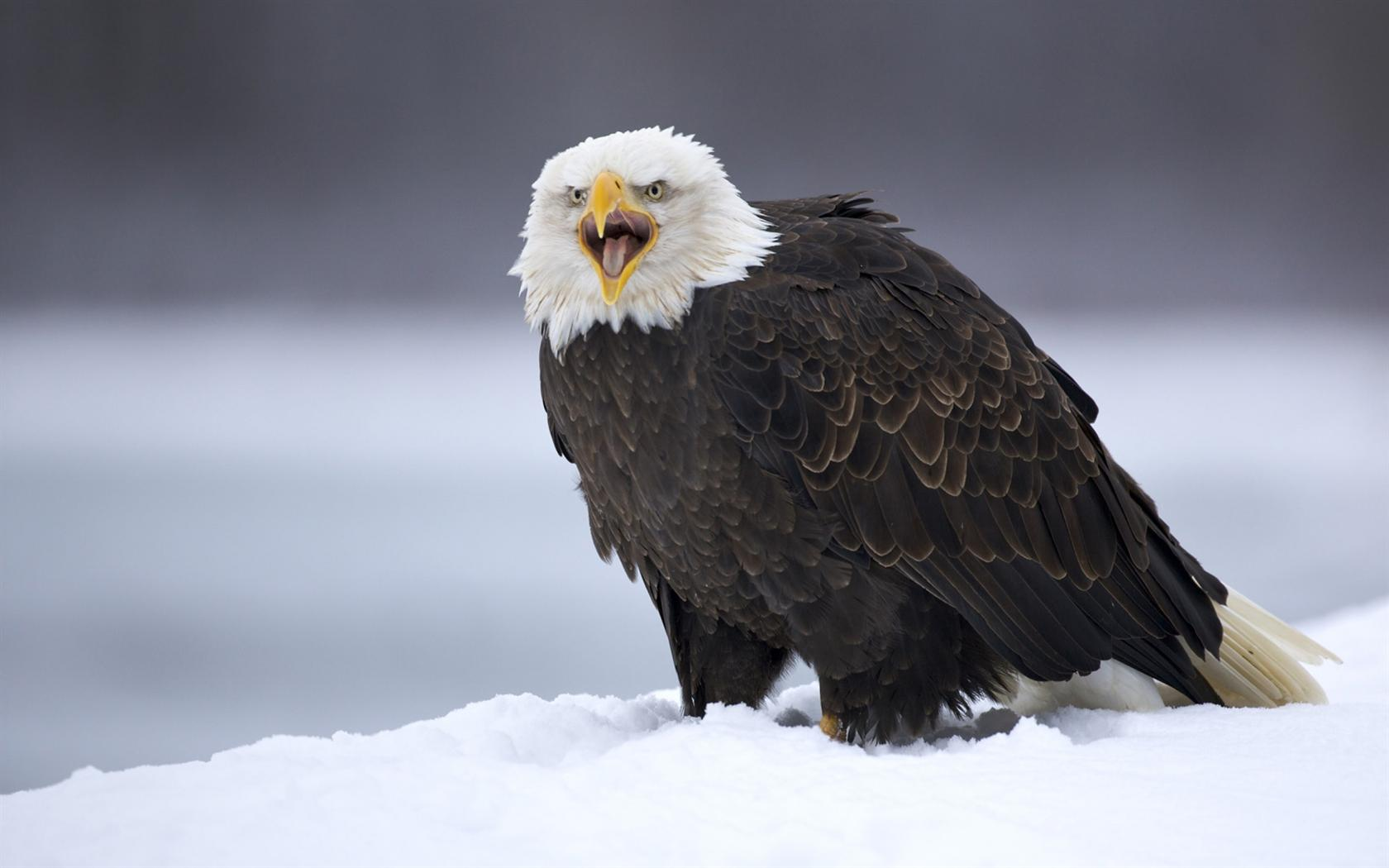 bald eagle wallpapers - sf wallpaper