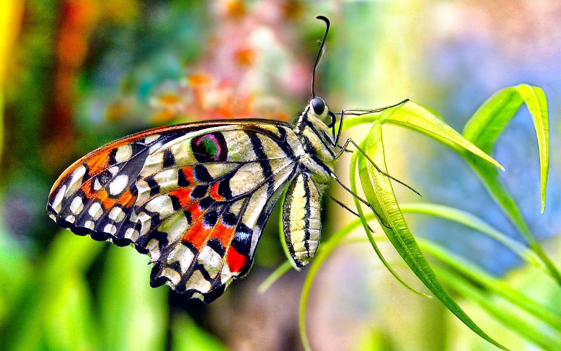 Butterfly Wallpapers Sf Wallpaper