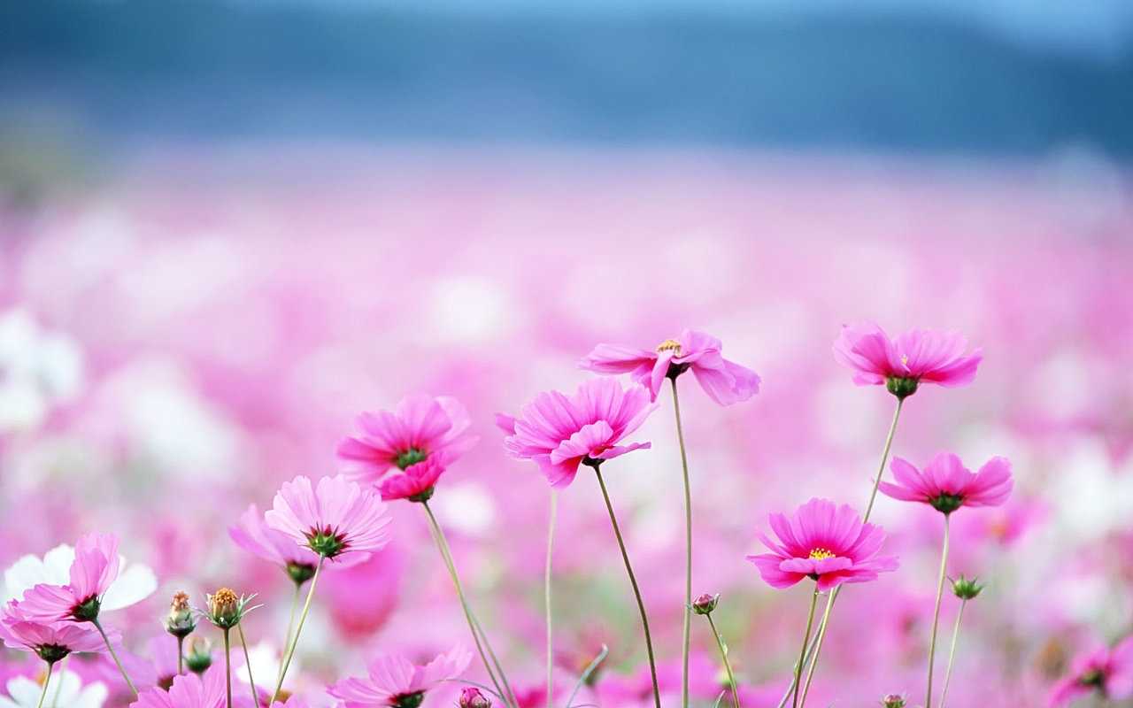 Beautiful Flower Wallpapers For Desktop, Full HDQ Flower Pictures