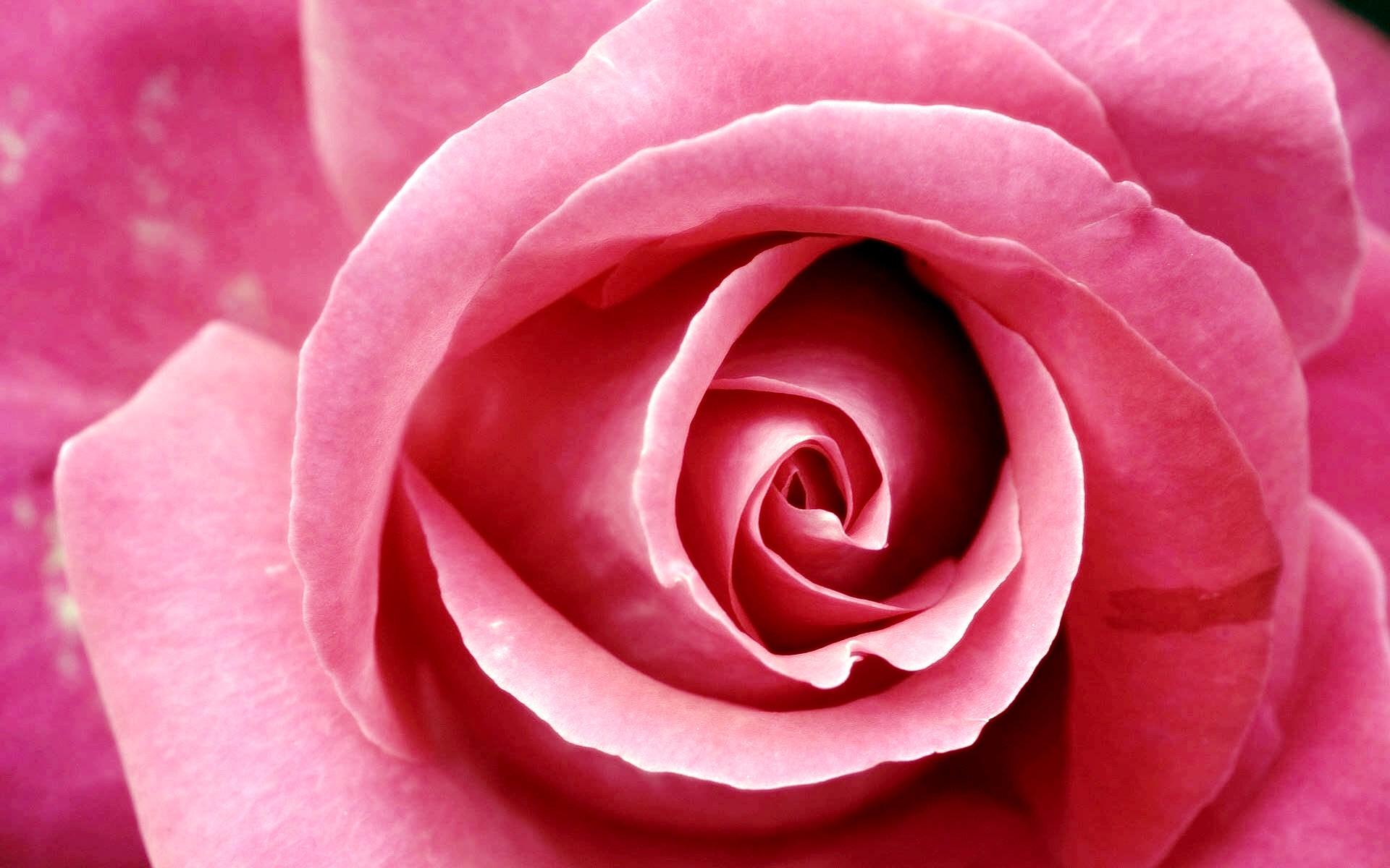 Beautiful Pink Rose Wallpapers   HD Wallpapers