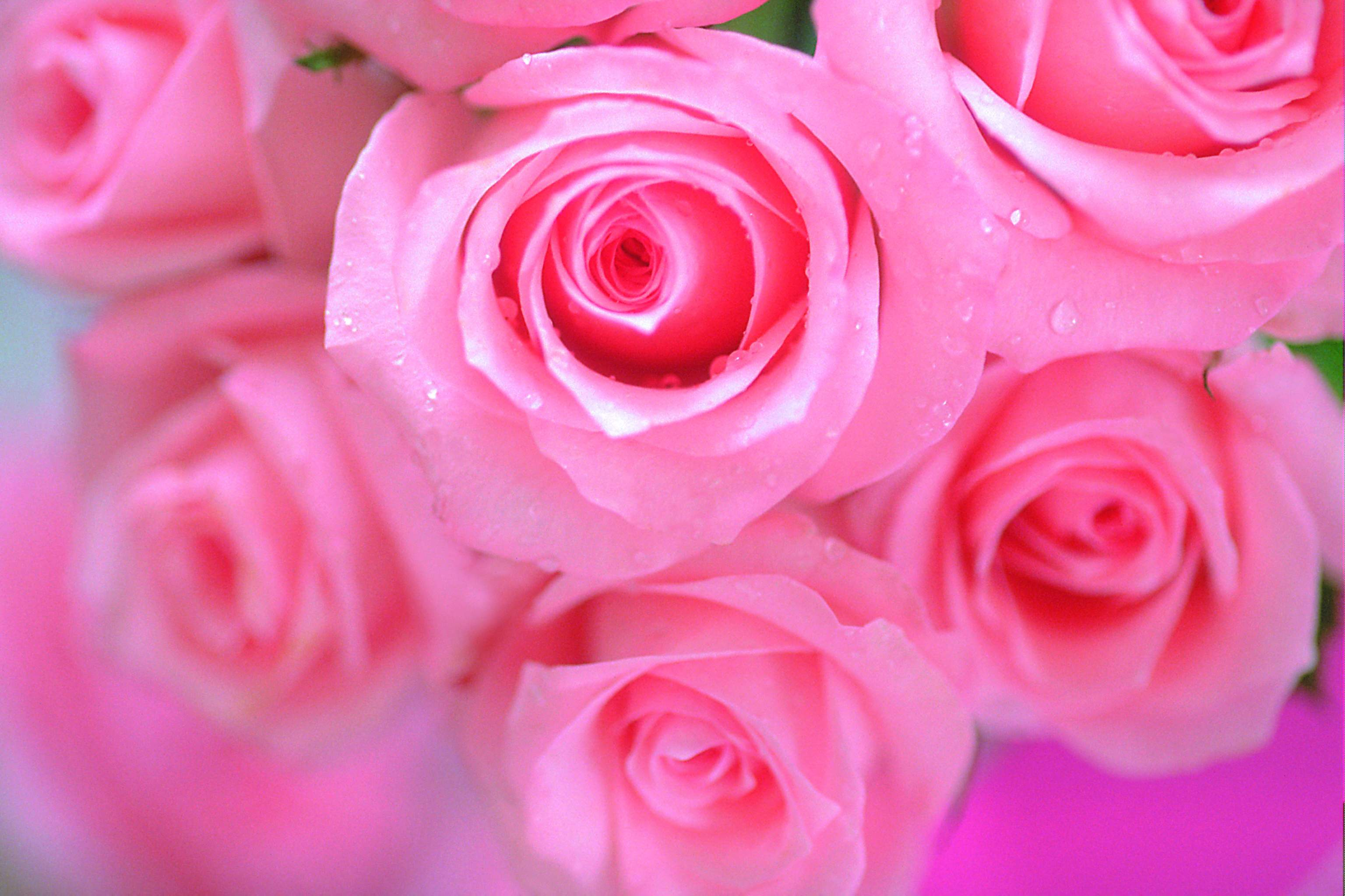 Beautiful Pink Rose Flower Wallpaper Free Flowers Healthy