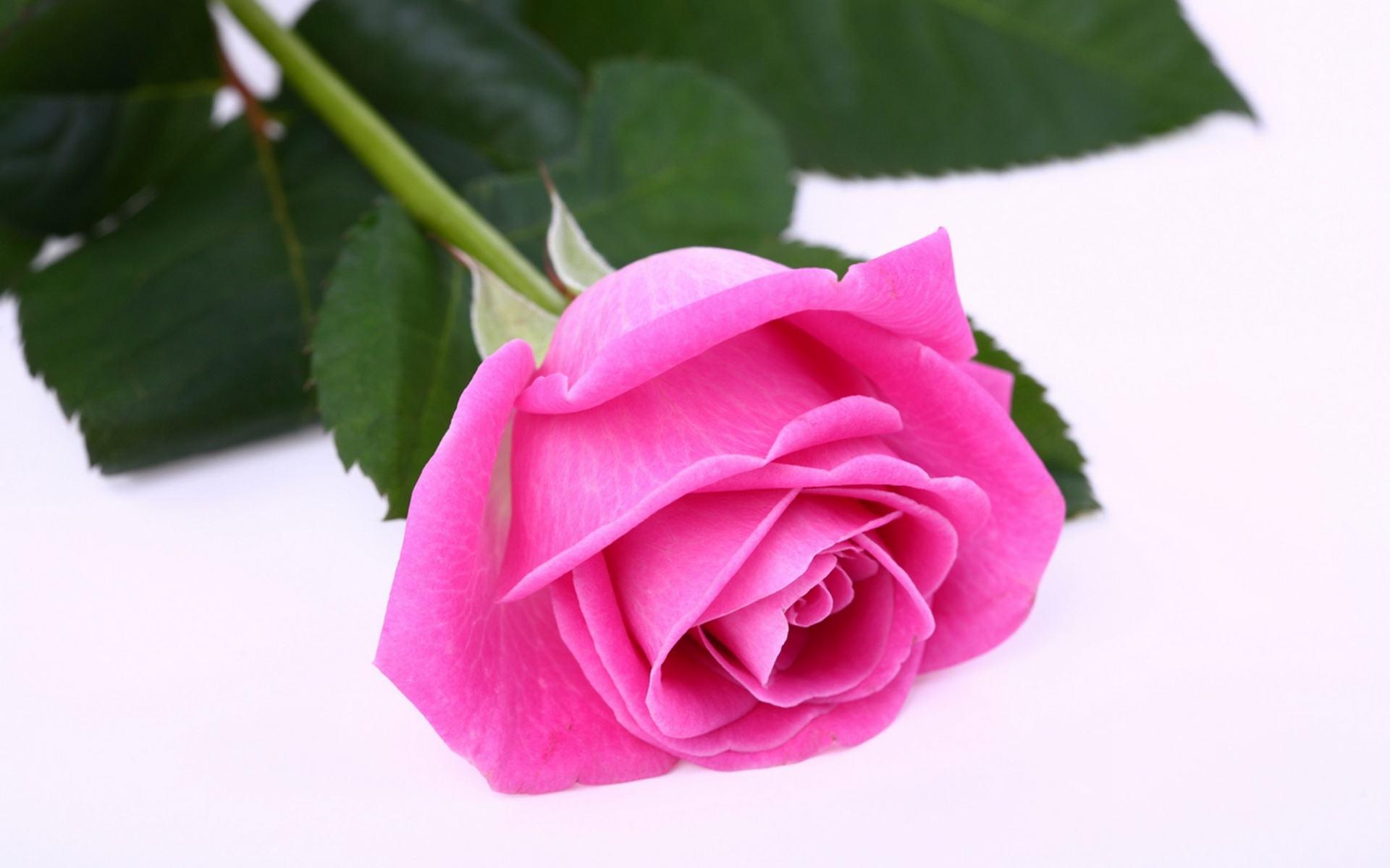 Dark Pink Rose Wallpapers Group (68+)