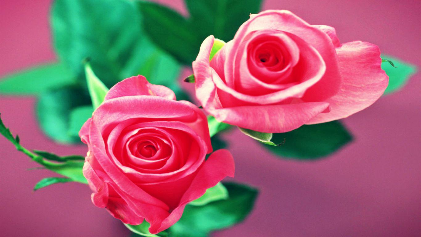 Beautiful Pink Roses Wallpapers Sf Wallpaper