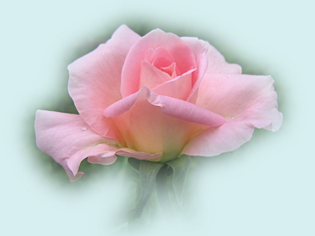 Beautiful Pink Roses Wallpapers Sf Wallpaper