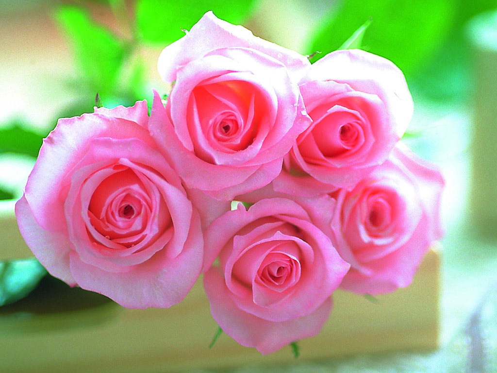 pink rose flowers wallpaper - flowers healthy