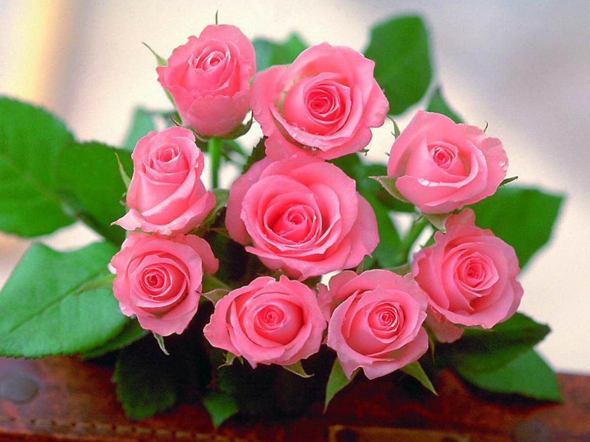 Beautiful Pink Roses Wallpapers Group (74+)