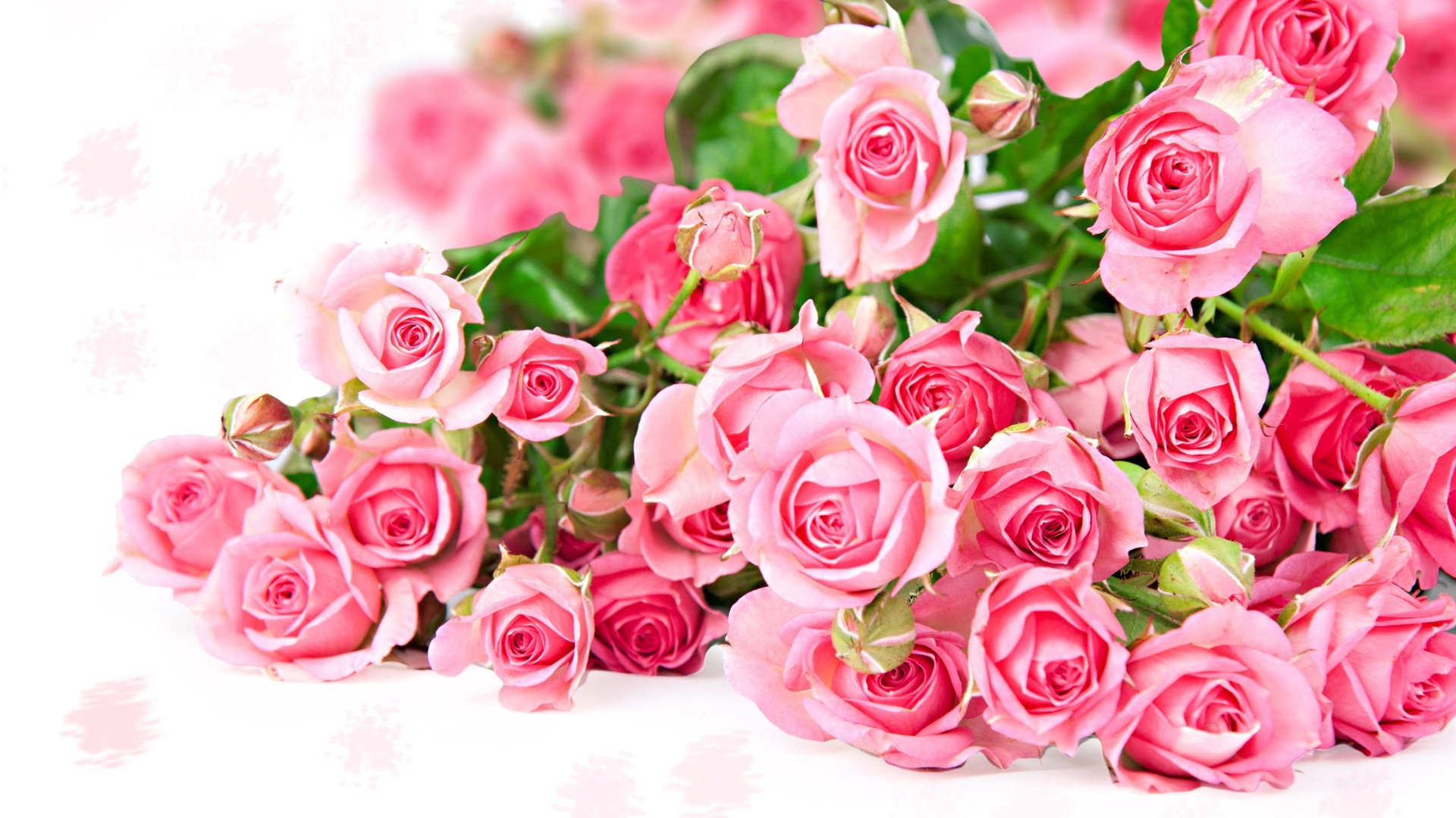 Pink Roses HD Wallpapers Free Download