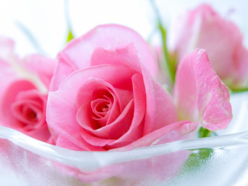 Beautiful Pink Rose Flowers Hd Wallpapers The Best Ideas