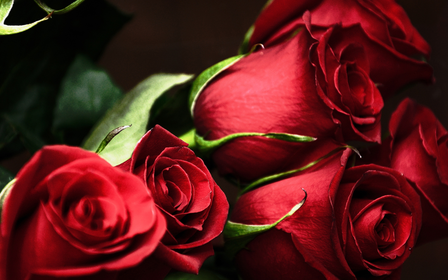 red roses, most popular rose, rose wallpapers, beautiful rose, red