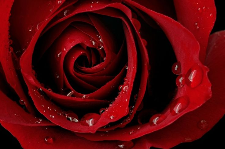 Download Free Beautiful Dark Red Rose Wallpaper Image for Your