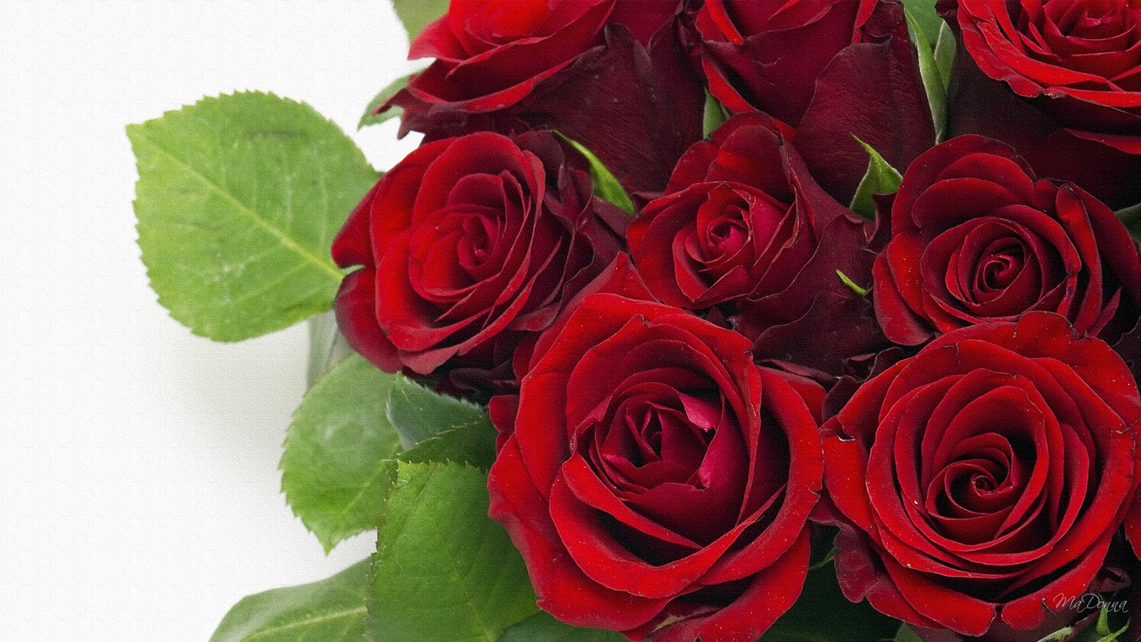 beautiful rose flowers wallpapers - sf wallpaper
