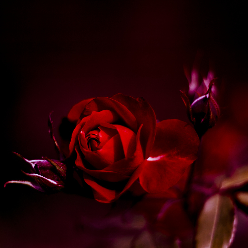 The Flower of Love: 35 Beautiful Rose Photos