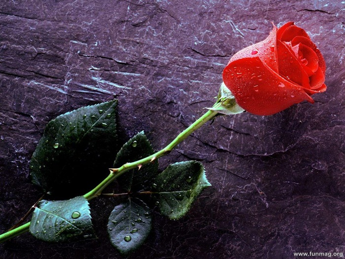 Romantic Red Roses Pictures (33 Photos) | funmag org