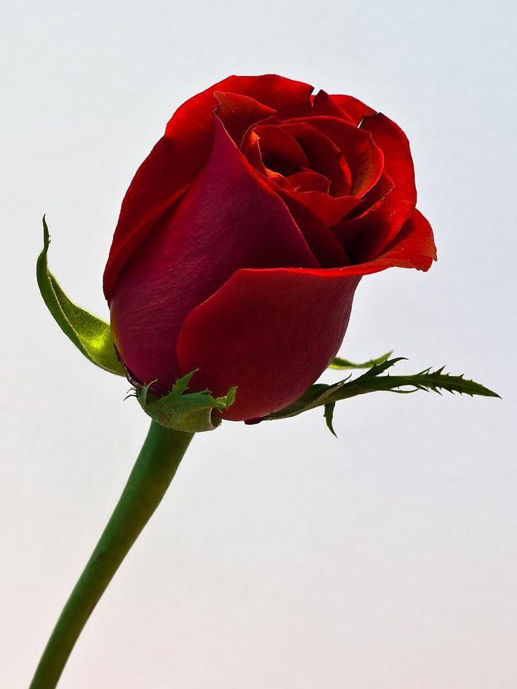 Beautiful Single Red Rose Wallpapers Sf Wallpaper