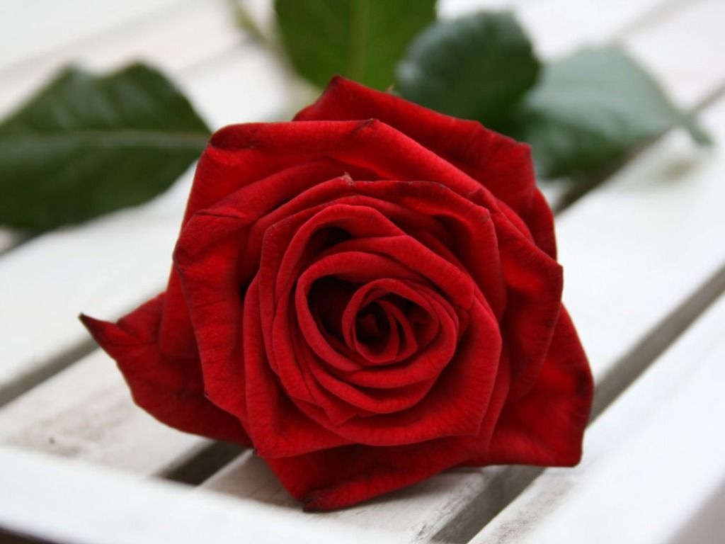 beautiful single red rose wallpapers - sf wallpaper