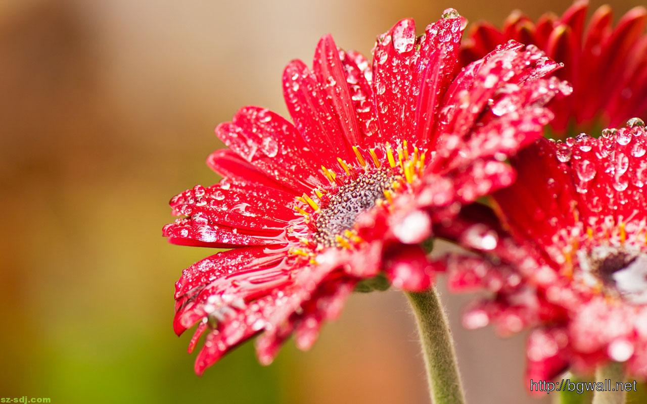 Best Red Macro Flower Wallpaper – Background Wallpaper HD