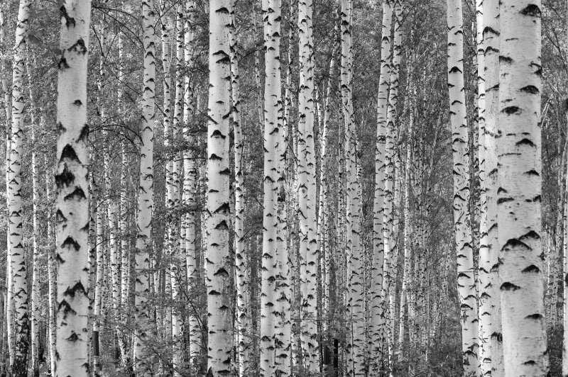 Birch Tree Wallpapers Group (34+)