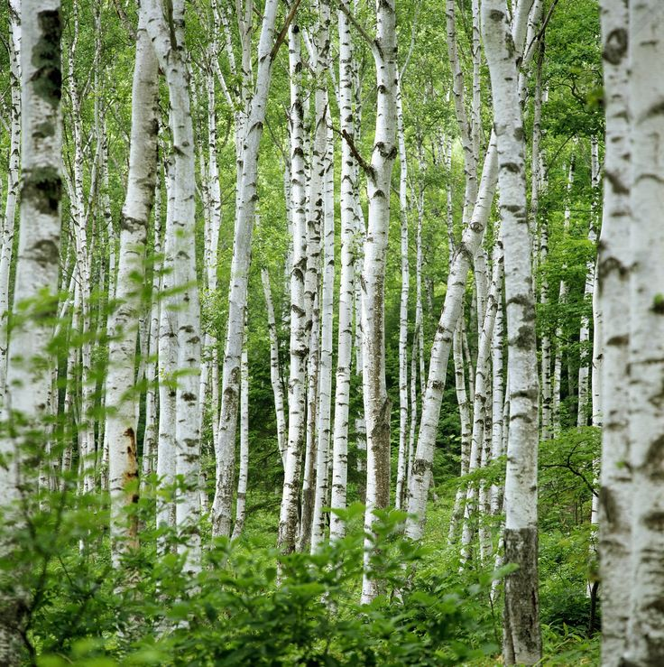 1000+ ideas about Birch Tree Wallpaper on Pinterest | Tree