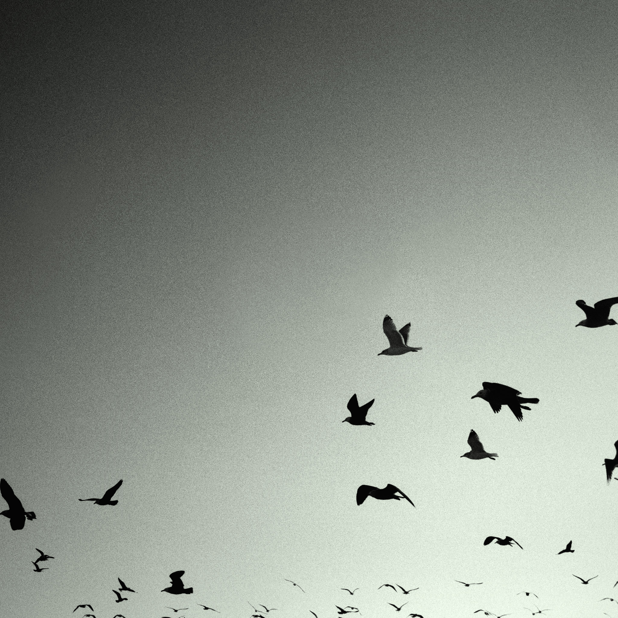 Keywords Birds Flying Background Black And White and Tags