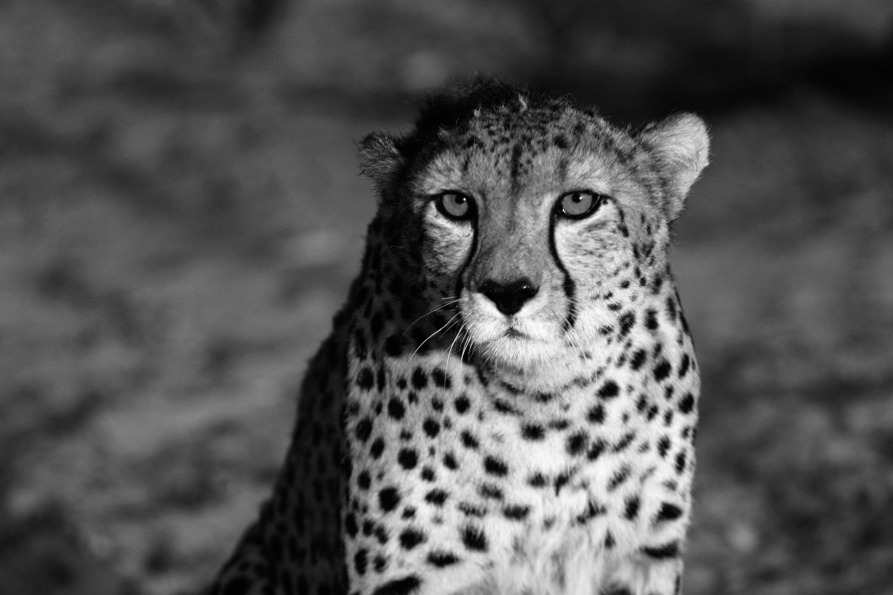 Black and white cheetah wallpaper Group (52+)