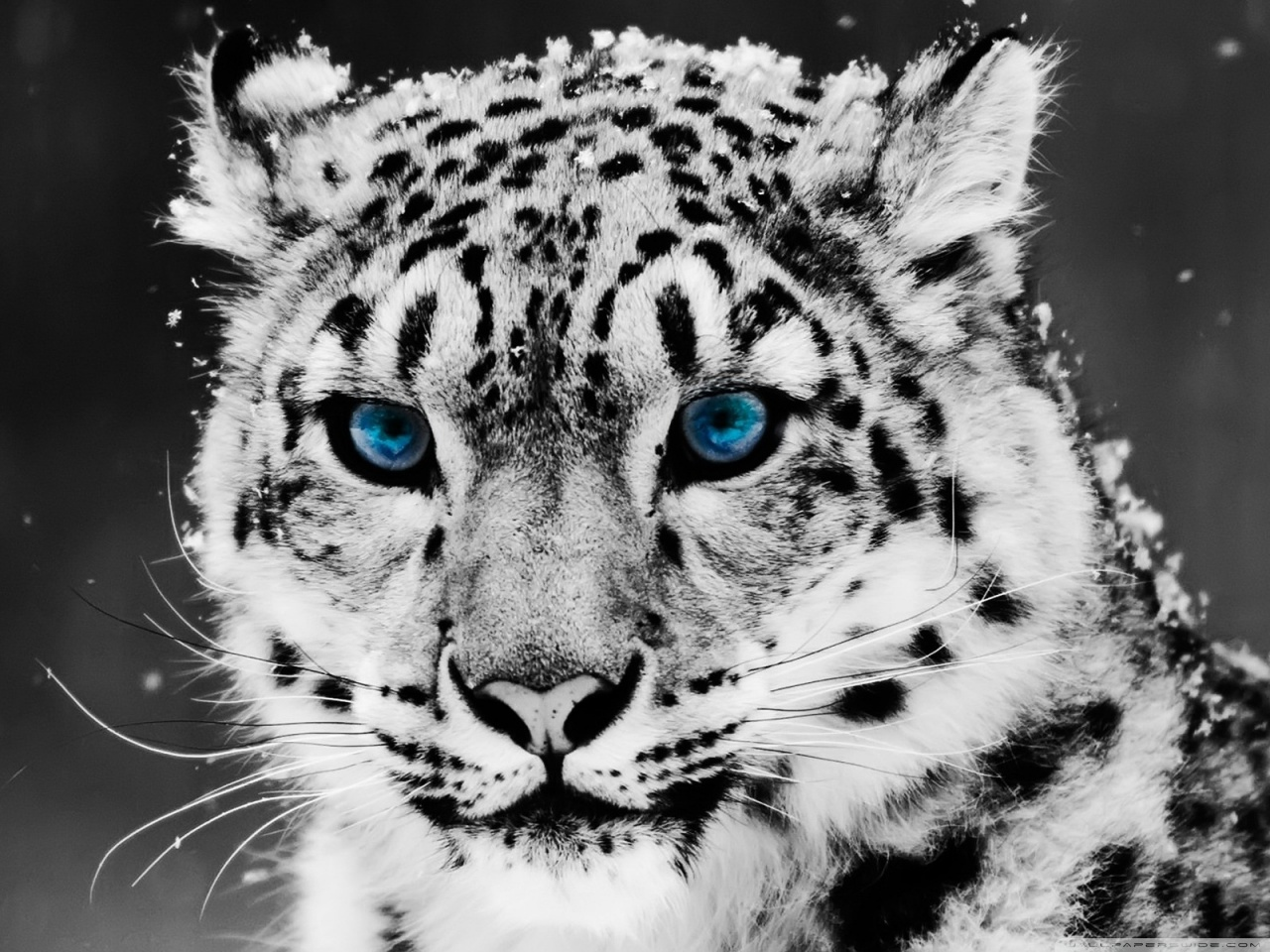 Snow Leopard - Black And White Portrait HD desktop wallpaper