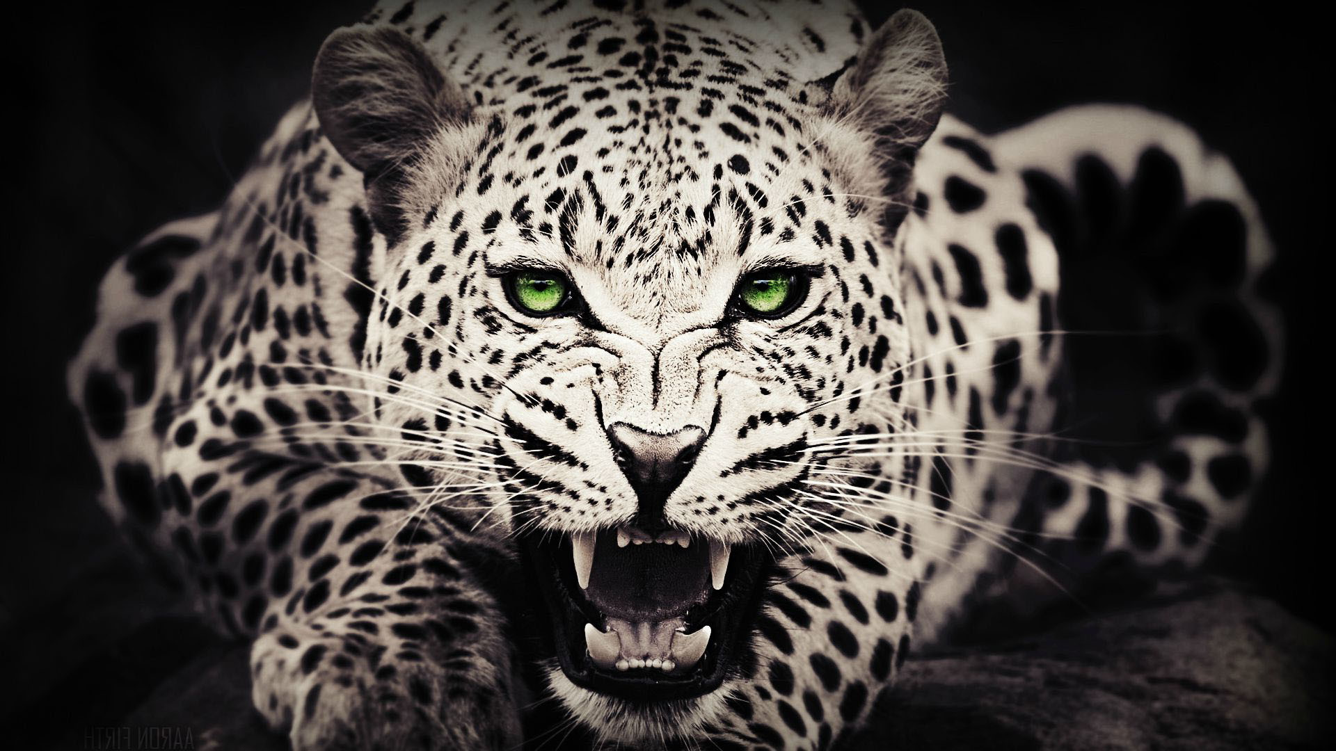 Cheetah Wallpaper Hd
