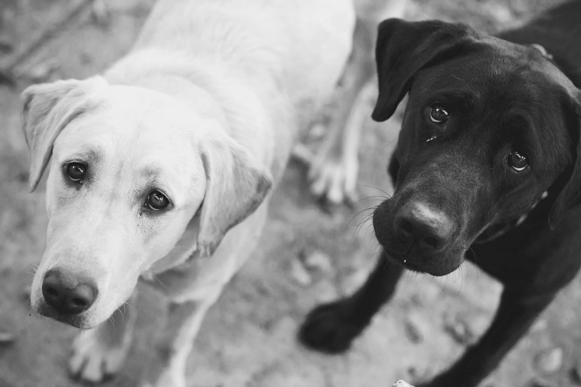 Black And White Dog Wallpapers Group (70+)