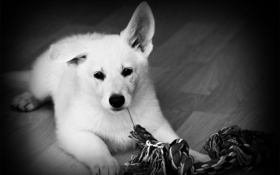 Black And White Dog Wallpapers Widescreen ~ Sdeerwallpaper