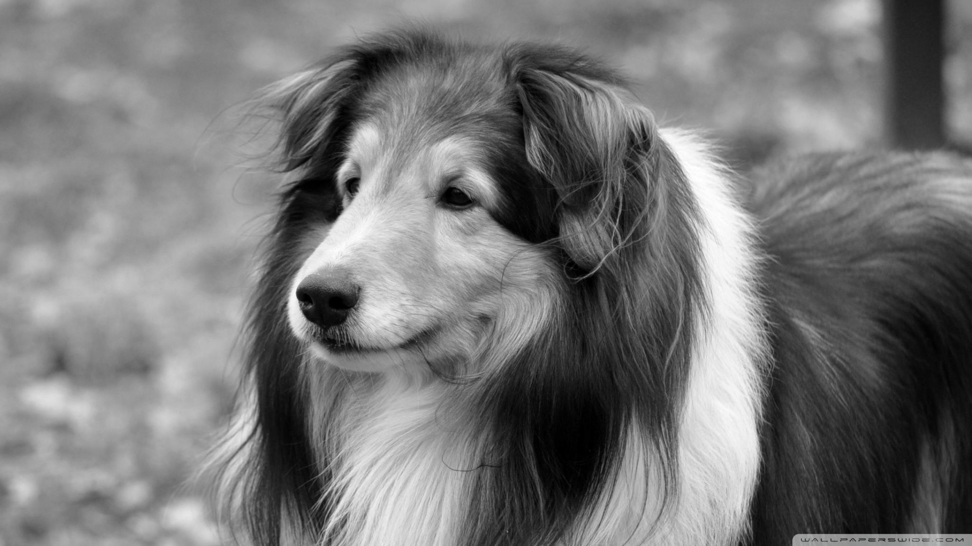 Black And White Dog Wallpapers HD - Scerbos com