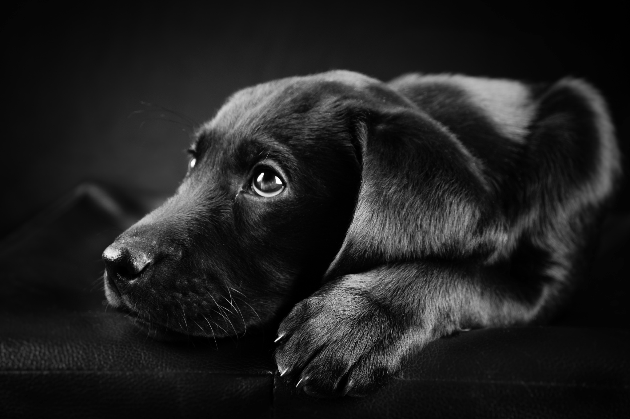 Black And White Dog Wallpapers Iphone - Scerbos com