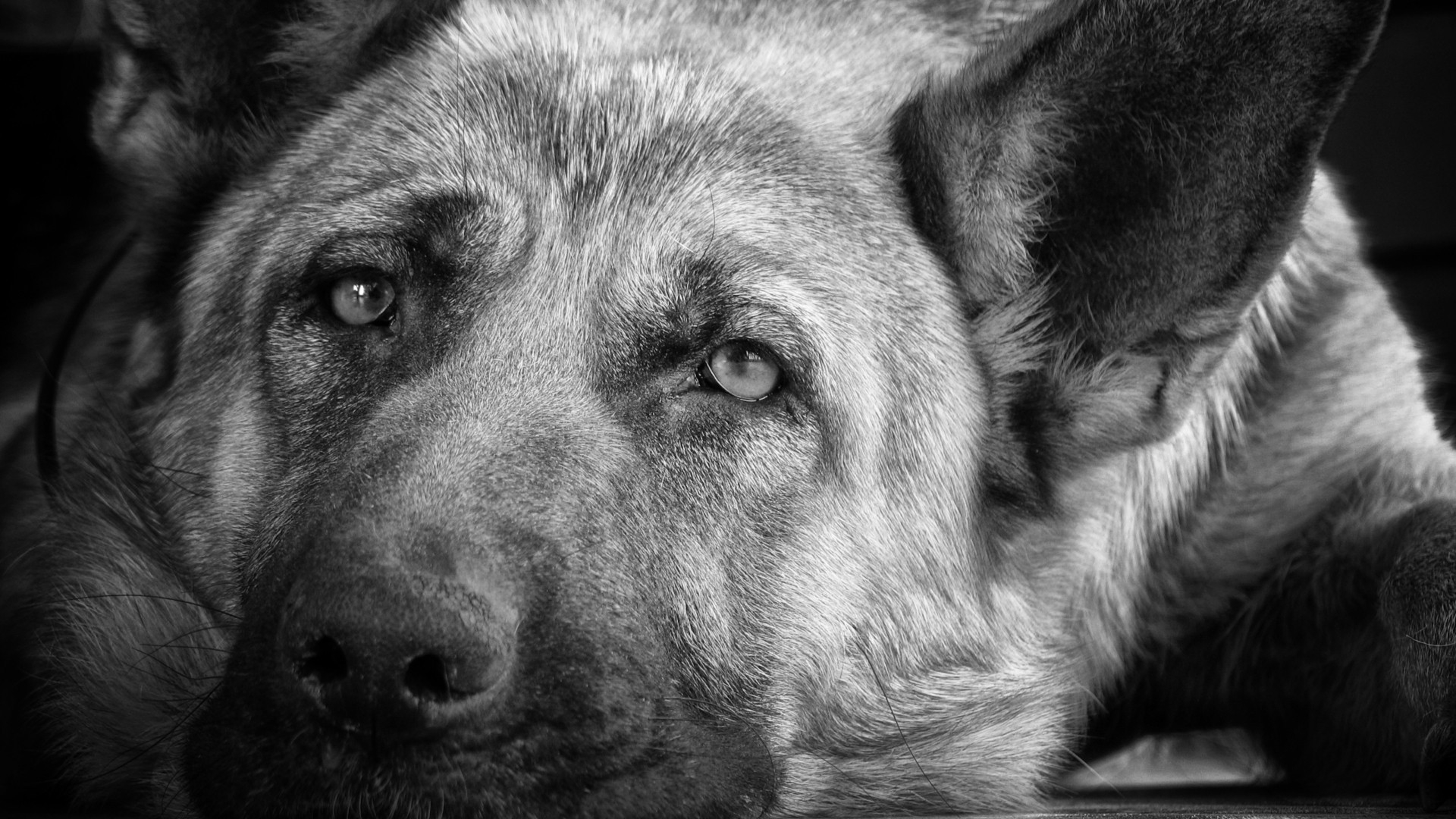 Black And White Dog Wallpapers Wide - Scerbos com