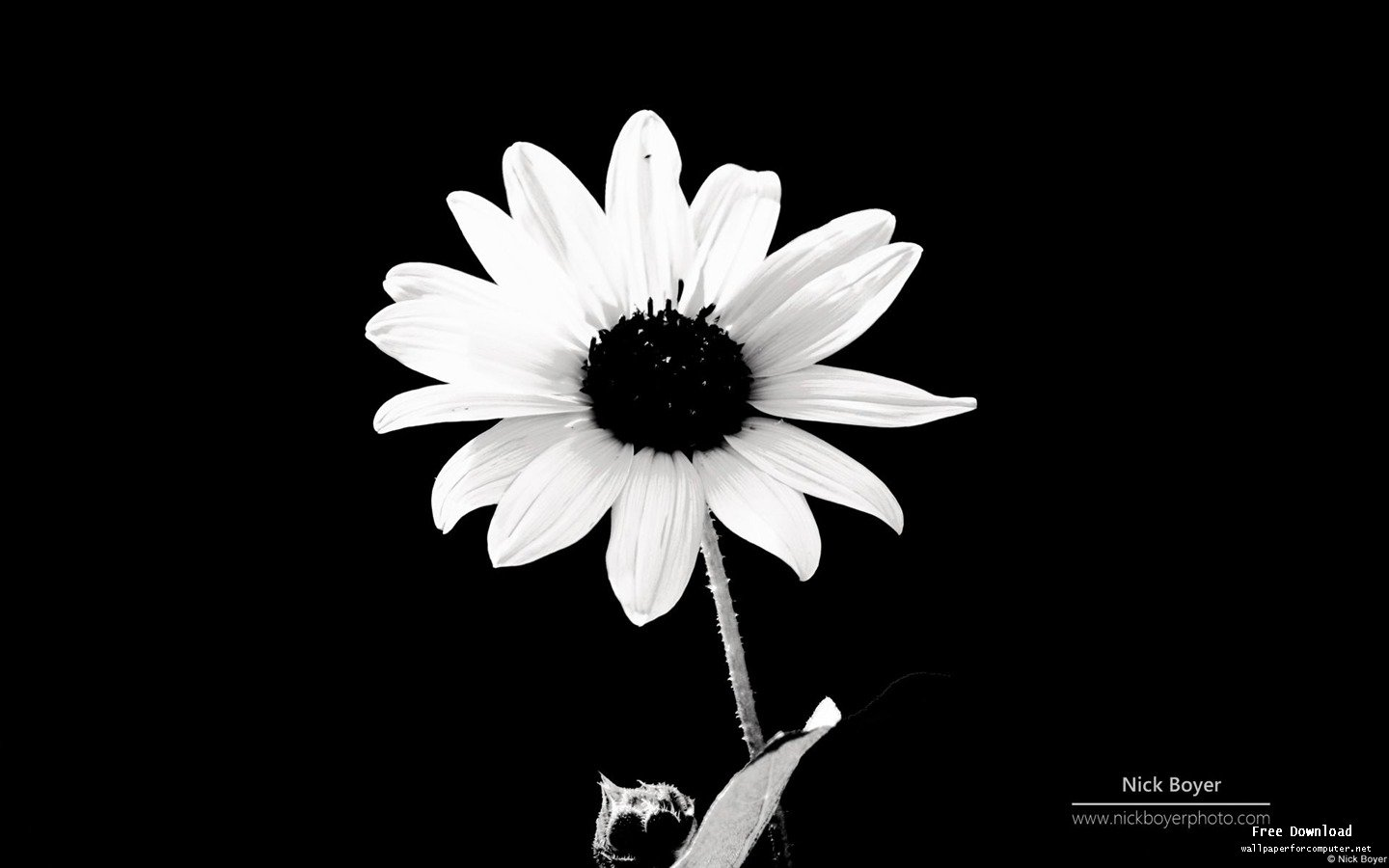 Black and White Flowers wallpaper | 1440x900 | #51486