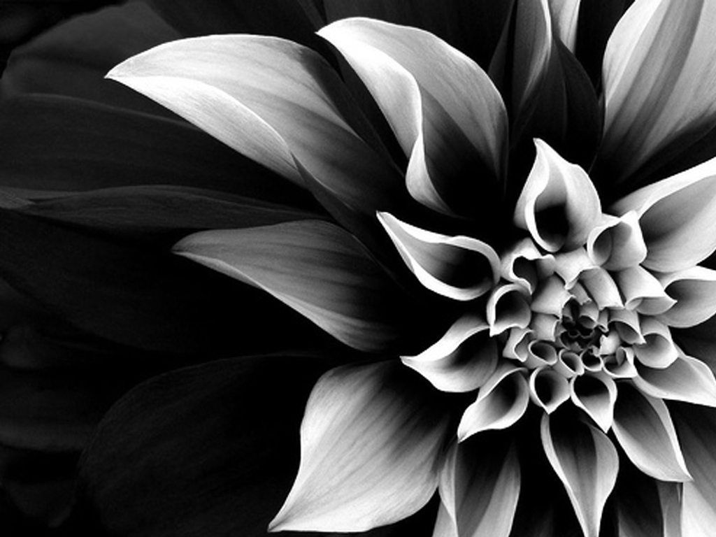 Black And White Flowers Wallpaper 11 Free Wallpaper