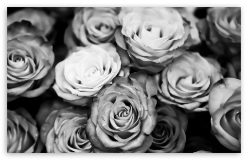 Roses Black And White HD desktop wallpaper : Widescreen : High