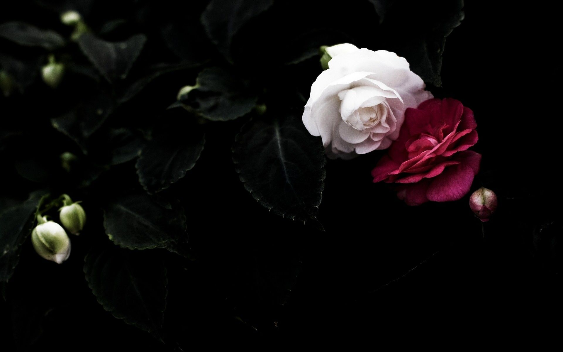 Black And White Rose Wallpapers - Wallpaper Cave