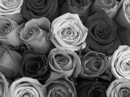 Black And White Rose Wallpaper Sf Wallpaper