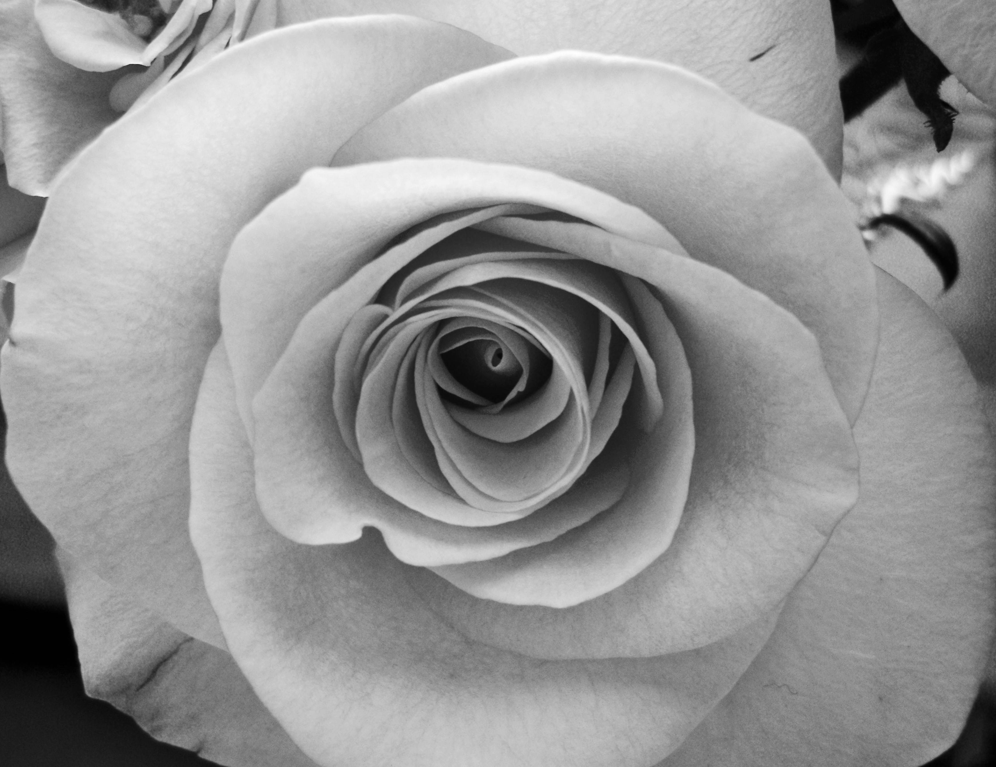Black And White Roses Wallpapers - Wallpaper Cave