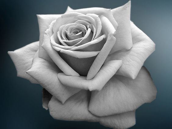 Black and White Rose Wallpaper | Learn How to Draw | Pinterest