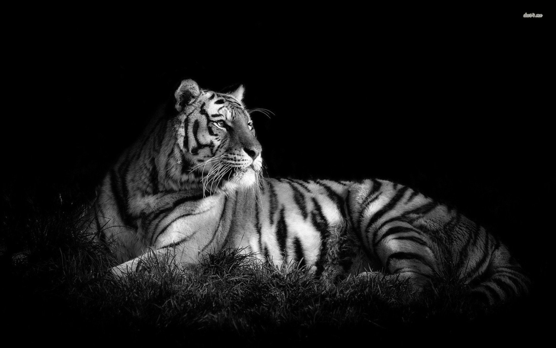 Black And White Tiger Wallpaper