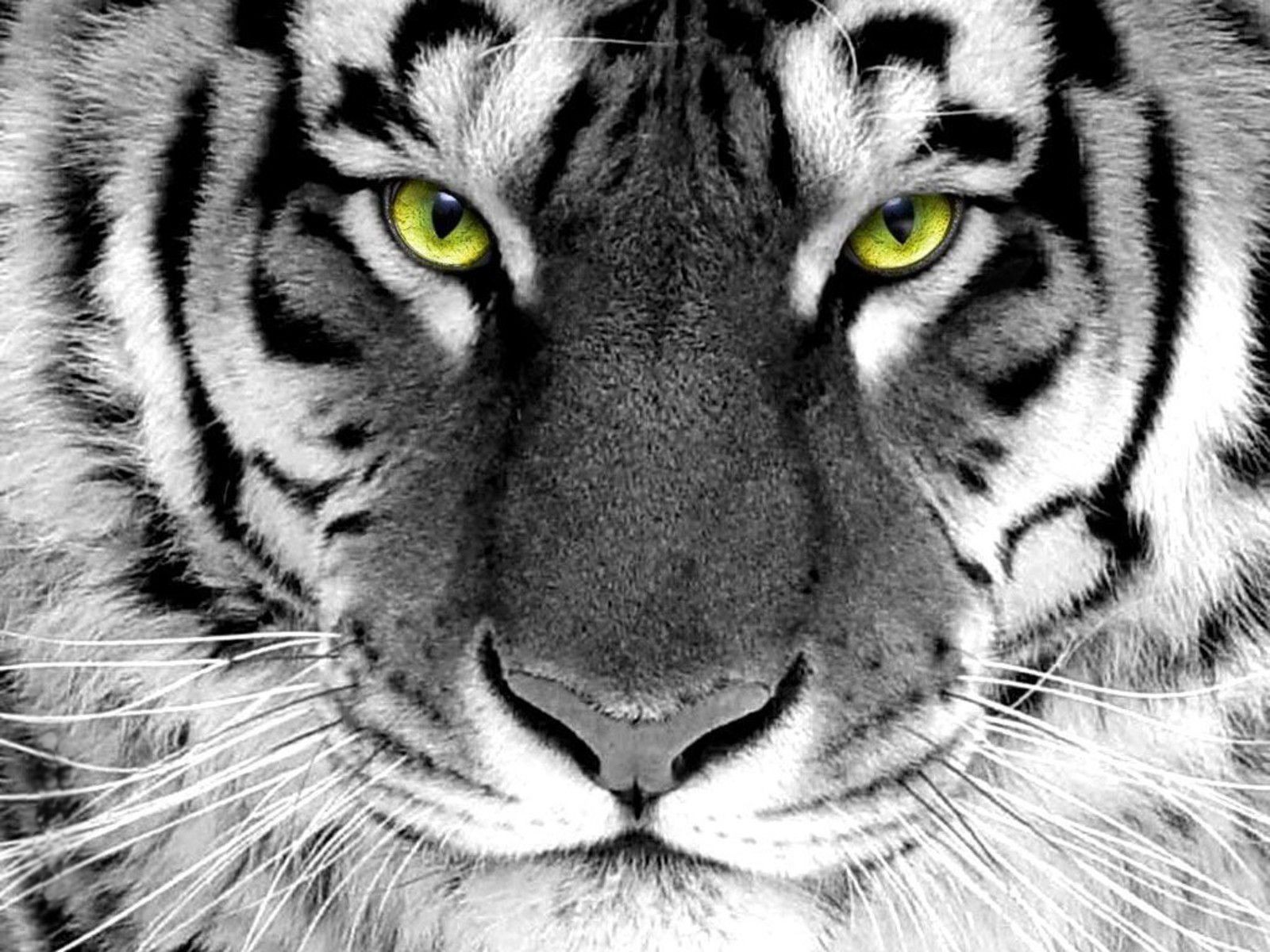 tiger background pictures #9