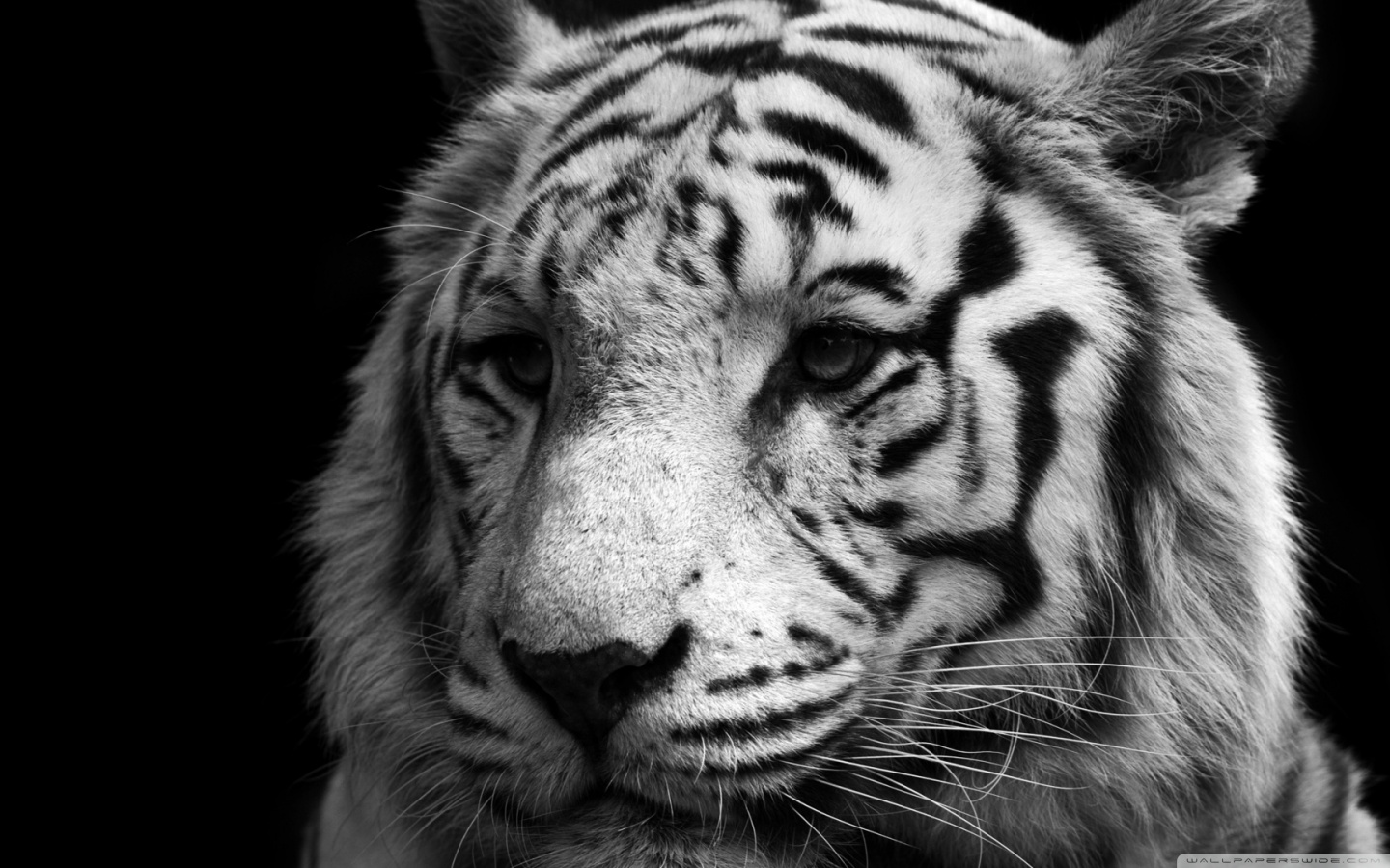 Tiger Black And White HD desktop wallpaper : Widescreen : High