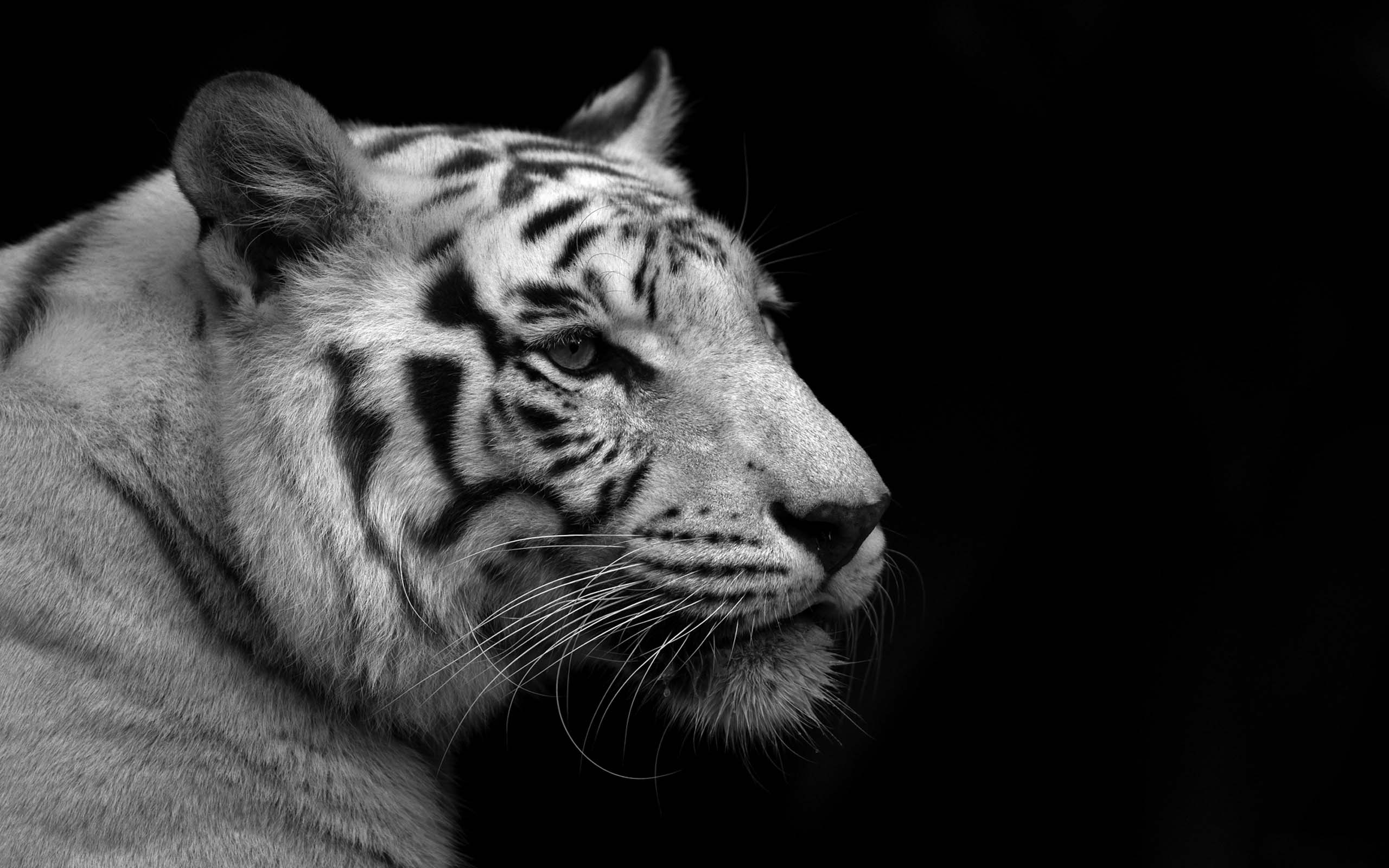 White Tiger Wallpaper Download – Free wallpaper download