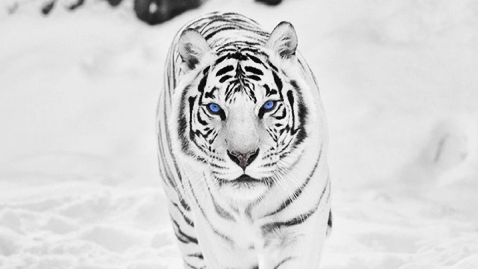 Black And White Tiger Wallpapers Group (71+)